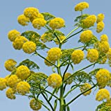 Plant World Seeds - Ferula Communis Seeds