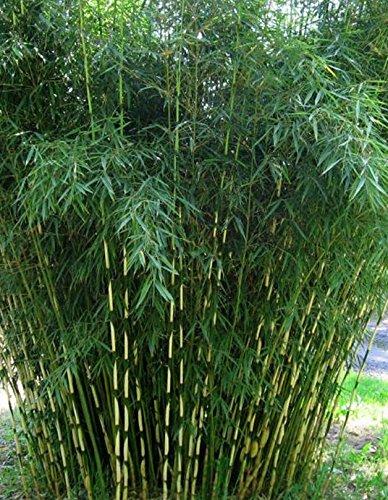 fargesia-robusta-campbell-hoher-heckenbambus-verschiedene-gren-120-cm-topf-5-ltr-3-5-triebe