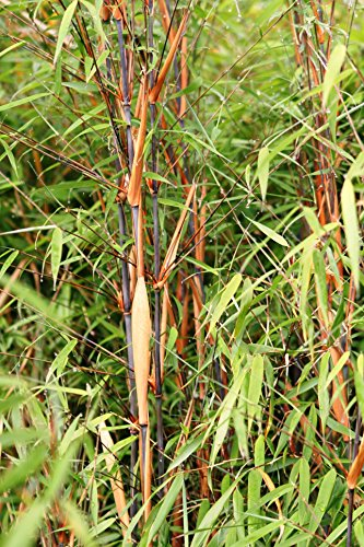 Bambus Fargesia scabrida Asian Wonder - winterhart - keine Wurzelauäufer (80/100 cm hoch)