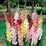 Coorun Semence De Plantes/Legumes/Fleurs/Fruits Pour Jardinage Paquet De 10 De Glaïeul