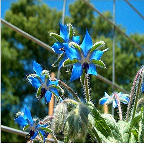 semi-30pcs-green-giant-cipolla-fiori-in-vaso-balcone-allium-semi-rari-esotici-perenni-semi-di-fiori-
