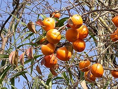 Kaki-Hybride Nikitas Gift - 2-jähriger Baum im 7 lt-Topf von Lubera AG - Du und dein Garten