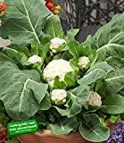 BALDUR-Garten Multi-Pflück-Blumenkohl,3 Pflanzen Multi-Head F1