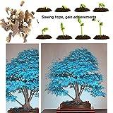 20Bonsai blau Ahorn Baum Samen Bonsai Baum seeds. Rare Sky Blau Japanischer Ahorn Samen Balkon Pflanzen für Home Garten