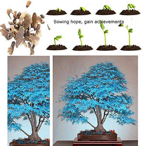 100% reale japanische Blau Ahorn Bonsai Samen, 10 Samen/Pack, Acer palmatum atropurpureum, Bonsai SOW GANZE JAHR