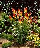 Fackellilie Samen / 50 Stück/Kniphofia uvaria/Raketenblumen/mehrjährig/auffällige Blütenkerzen