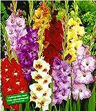 BALDUR-Garten Gladiolen-Mischung, 100 Zwiebeln Gladiolus 100 Stück zum Sonderpreis Gladiolenzwiebeln winterhart