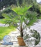 BALDUR-Garten Winterharte Kübel-Palmen Chinesische Hanfpalme Freilandpalme Gartenpalme, 1 Pflanze, Trachycarpus fortunei frosthart Vergleich