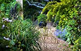 3 x Carex pendula 1 Liter (Ziergras/Gräser/Stauden) Riesen Segge ab 3,19 € pro Stück
