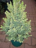 Zuckerhutfichte Daisy`s White - Picea glauca Daisy`s White 30-40cm