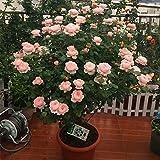 20pcs/bag Sakura Samen Brunnen weinend Kirschbaum Samen Dwarf japanische Blüten Bonsai Blume für DIY Hausgarten-Anlage 06