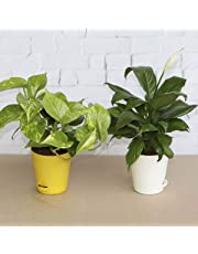 Ugaoo Indoor Air Purifier Plants - Money Plant Variegated & Peace Lily