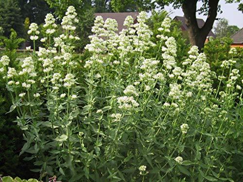Centranthus ruber 'Albus' - 3 Pflanzen im 0,5 lt. Vierecktopf