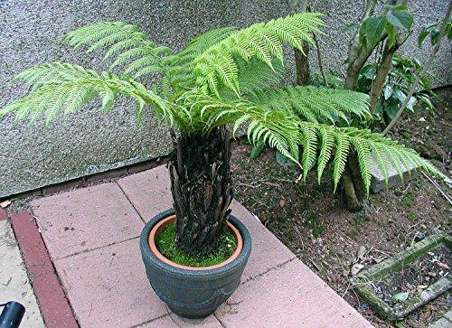Australischer-Baumfarn -dicksonia antarctica- 25 Samen/Sporen ''Frostfest bis minus 10 Grad''