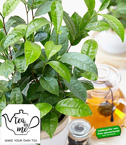 Winterharte Teepflanze