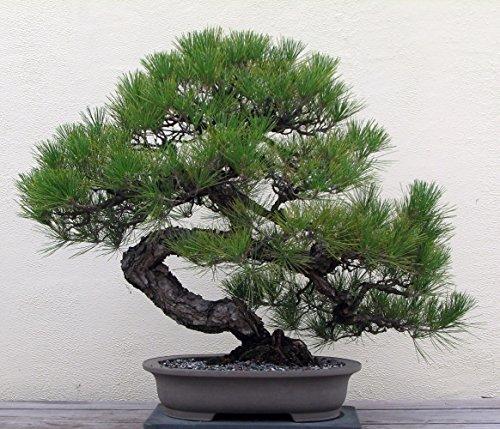 Japanese Black Pine 25 Seed - Bonsai by Hirt's Gardens (Pine Black Bonsai Japanese)