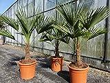 L Trachycarpus fortunei 120 - 140 cm, Hanfpalme, winterharte Palme bis -18°C + Bonsai Zitrone