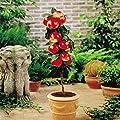 Zwerg Apfelbaum Red Spur von Meingartenshop auf Du und dein Garten
