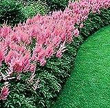 Qulista Samenhaus - Raritäten duftend Astilbe Prachtspiere rosa Blumensamen winterhart mehrjährig, ideal für schattige und feuchte Ecken