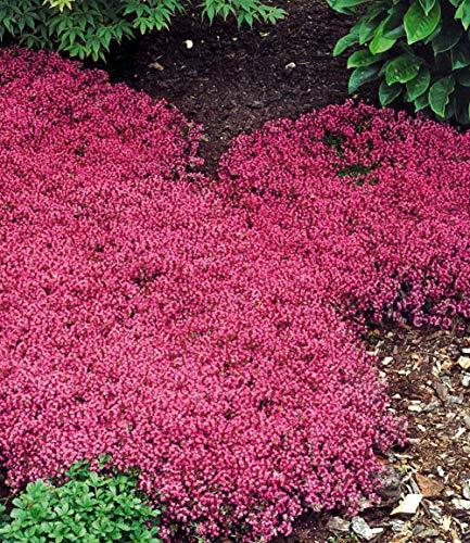 AIMADO Samen-500 Pcs Bodendecker Samen winterhart mehrjährig,Thymus serpyllum immergrüner Samen, Blumen Saatgut Ein sommerlicher Blütenteppich