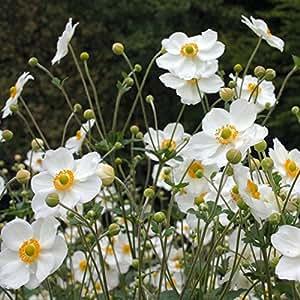 lichtnelke - Anemone ( Anemone japonica ' Honorine Jobert ' )