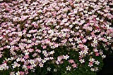 Moos-Steinbrech, Saxifraga arendsii 'Apfelblüte' im 9cm Topf