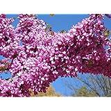 Tree Seeds Online - Cercis Siliquastrum. Judas Árbol 50 Semillas - 1 Paquetes