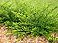 """25 Stück Lonicera nitida """"Maigrün"""" * (Heckenkirsche """"Maigrün""""), Bodendecker winterhart, mehrjährig, immergrün, * Topf 20-30 cm von Hecken-Direkt.de bei Du und dein Garten"""