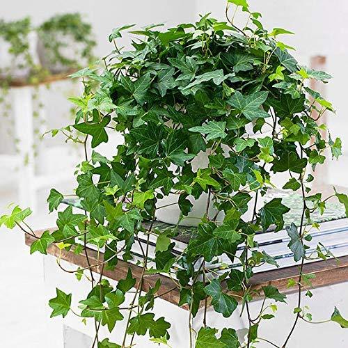 Xianjia Garten - Immergrün Raritäten Efeu 'Jessica' luftreinigende Pflanzen Zimerpflanzen pflegeleicht schnellwachsend Kletterpflanzen Blumensamen exotisch winterhart mehrjährig (50)