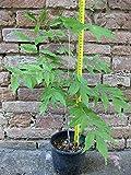 Glicine viola 50 cm, pianta pre-bonsai