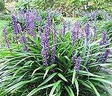 Portal Cool 5 Lilyturf Liriope Muscari Aka Big Blue Lily Turf/Semi Scimmia erba fiore