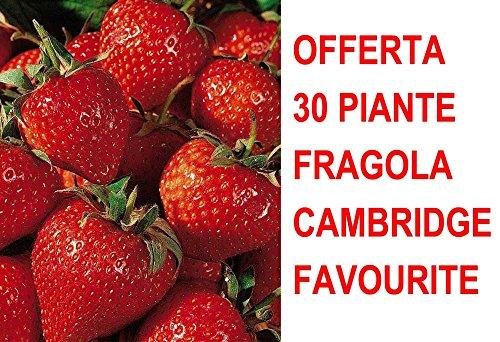 Offre 30 plantes à racines nues Fraise Cambridge Favourite orto