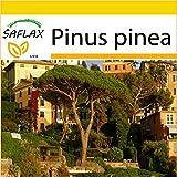 SAFLAX - Set per la coltivazione - Pino marittimo - 6 semi - Pinus pinea