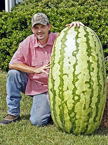 graines de fruits 30 pcs géant pastèque énorme de 200 livres, jardinage,