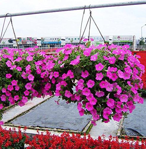 Portal Cool Semi-Trailing Petunia Seed 50 Samen Petunia Hybrida Hängende Pflanzensamen Hot G004 - Petunia Trailing
