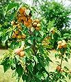 """BALDUR-Garten Säulen-Aprikose """"Armi Col®"""",1 Pflanze Aprikosenbaum Prunus armeniaca von Baldur-Garten - Du und dein Garten"""