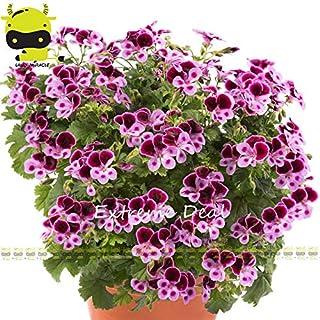 Go Garden Bicolor & # 39; Angeleyes & # 39; Geranium Samen Garten-Blumen-Anlage, 5 Samen/Pack, Mini Bonsai Pelargonium Seeds