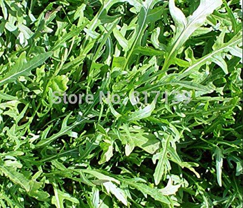 New Home de 40 graines de jardin Graines de roquette sauvage Dragon barbu herbes Légumes Graines