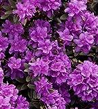 Zwerg-Rhododendron `Ramapo´