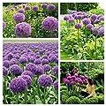 RIESEN ZIERLAUCH (Allium giganteum) - 50 Samen / Pack - winterharte Zierpflanze für den Garten - mehrjährig von Xuanqin bei Du und dein Garten