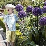 Riesen-Lauch Giganteum Samen lila Allium Samen groß Pompon Gartenpflanzen Bonsai Riesen Serie 100 Teilchen / bag