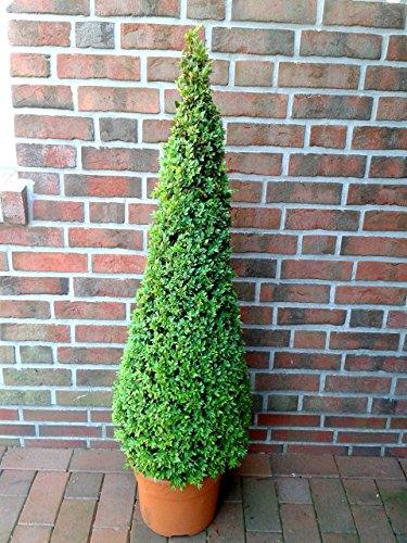 Buchsbaum insgesamt 15