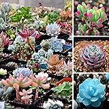 Qbisolo Mezclado 100 Semillas de Plantas Suculentas Semillas Lithops Pseudotruncatella Cactus y...