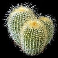 Eriocactus leninghausii seeds