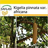 SAFLAX - Set per la coltivazione - Albero delle salsicce - 10 semi - Kigelia pinnata var. africana