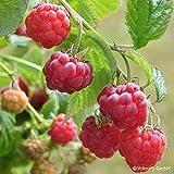 Zwerg-Sommerhimbeere 'Ruby Beauty'®, 5 l Topf