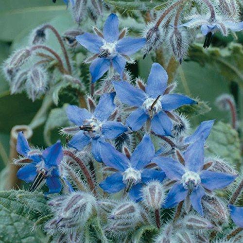 Freeshipping importations allemandes 60pc de fleurs sedum rayonnement succulentes de graines en pot merveilleux graines charnues bourrache bleu