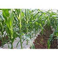 Happy Farm Seeds nero dolce di mais per l'impianto di 400 pezzi, Annual Erbe per i supermercati grano Semi, Zea mays mais Semi