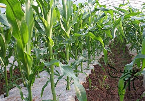 Happy Farm Sweet Black Maissaatgut für die Bepflanzung 400 Stück, Jahres Kräuter Special für Supermärkte Getreidesamen, Zea Mays Maissamen