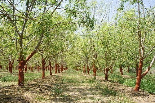 Moringa -Moringa oleifera- 10 Samen *Auch Meerrettichbaum genannt*